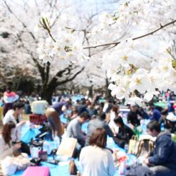 「やんごとなき花見2018」をバックにした桜の風景